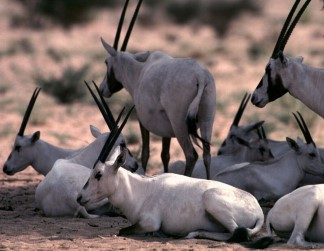 © Saudi Wildlife Authority - Saudi Arabia