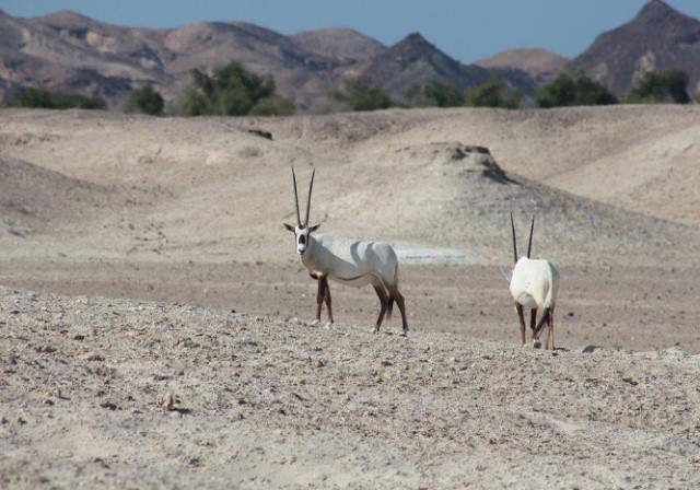 GSCAO publishes the first ever Housing and husbandry Guidelines for Arabian Oryx Collections in the UAE